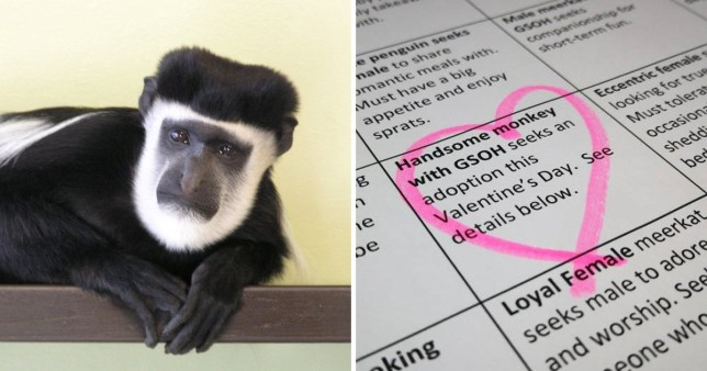 Maarteen the monkey on the left and the loney hearts ad on the right, circled with a pink heart. The ad says 'Handsome monkey with GSOH seeks an adoption this Valentine's Day. See details below.
