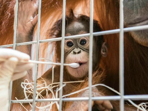 Orangutan paternity test reveals the only male in the enclosure is not the new baby's dad