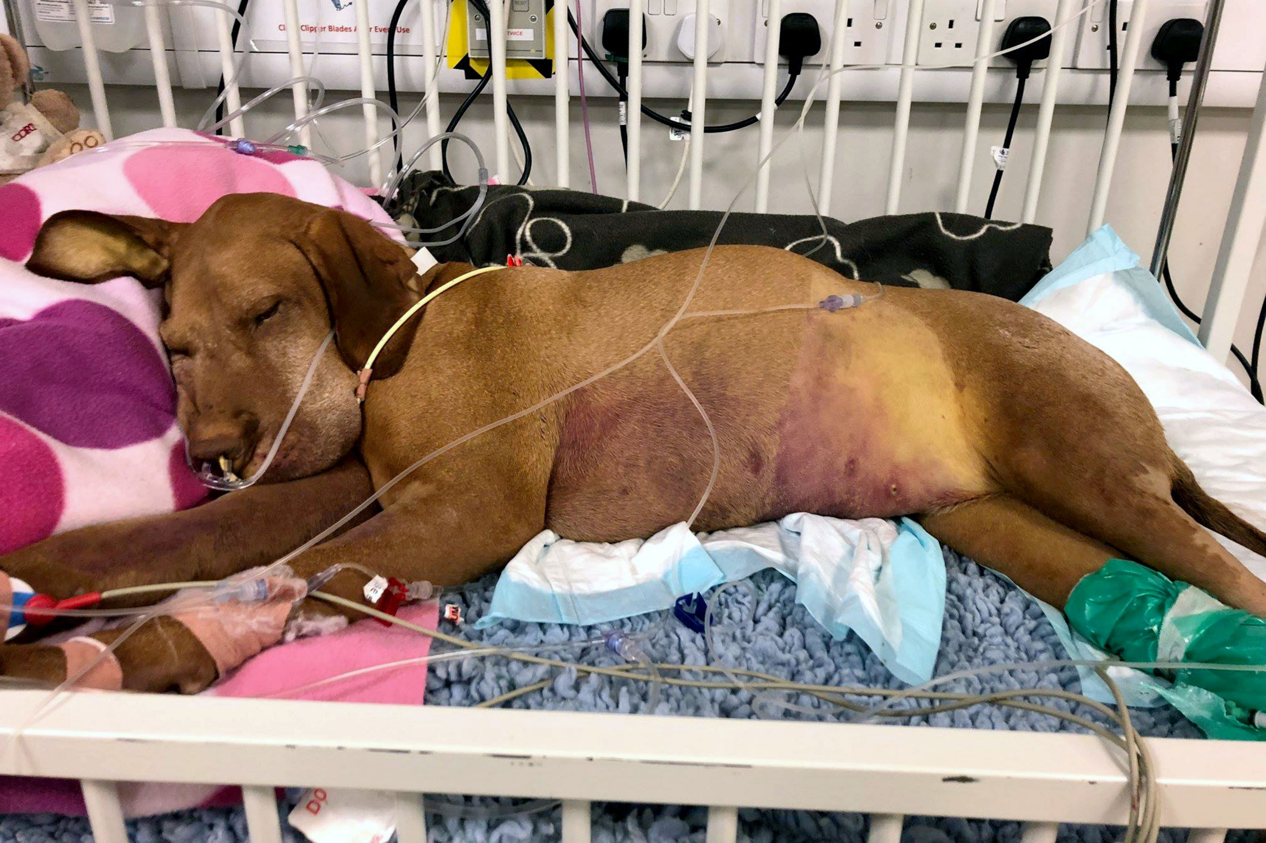 PIC FROM Caters News - (PICTURED: Ruby, a Hungarian Vizsla, from Acton, West London, died after eating chocolate brownies. Pictured on life support) - The heartbreaking images of a pooch on life support have been released by her owner after she tragically died from eating chocolate brownies. Ruby a Hungarian Vizsla had cheekily stolen two brownies which contained Xylitol, a form of sweetener, which is toxic to dogs and causes liver failure. Owner Kate Chacksfield, 51, was left heartbroken when Ruby fell ill 36 hours after consuming the brownies which she had only made in a bid to reduce her own sugar intake.SEE CATERS COPY