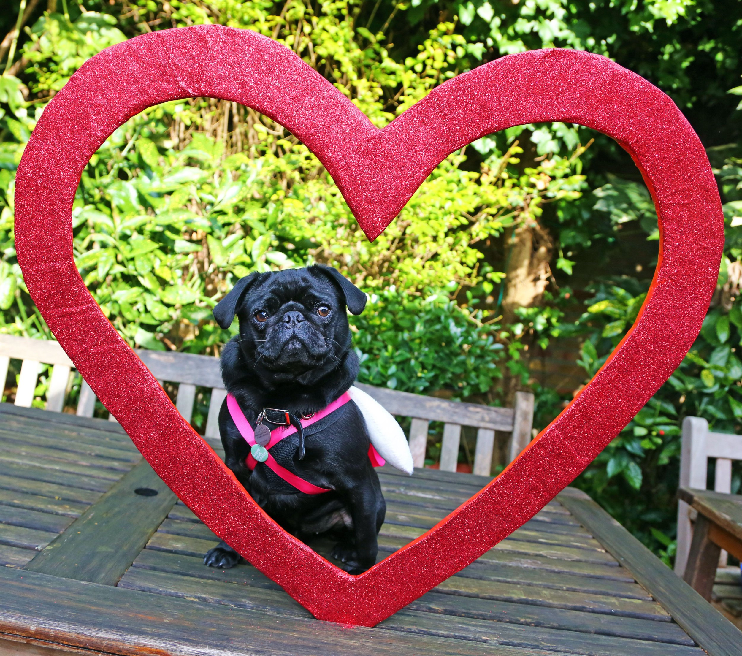 Mandatory Credit: Photo by Paul Brown/REX/Shutterstock (5586702g) Bubba the Pug poses inside a red heart at the All Dogs Matter Valentine's Dog Walk, Hampstead Heath, London All Dogs Matter Valentine's Dog Walk, Hampstead Heath, London, Britain - 14 Feb 2016