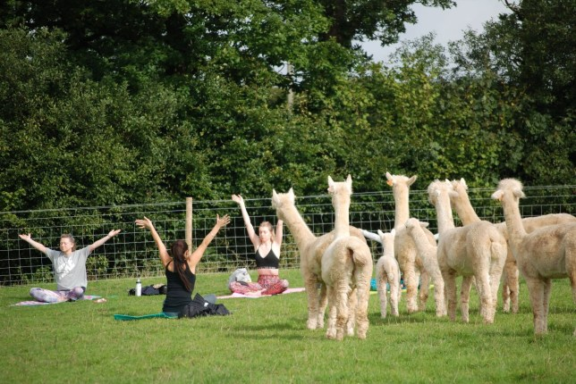 """A yoga class is held at Rosebud Alpacas in Devon. See SWNS story SWPLalpaca; A farm has become the first place in Britain to offer yoga classes - in a field full of ALPACAS. Rosebud Alpacas is located on a remote smallholding among rolling countryside and has been hailed as the perfect location for calming exercise. But to add to the experience owners Nick and Lucy Aylett have decided to run their yoga classes in the same field where they keep their alpacas. And they say their alpaca yoga classes in South Molton, Devon, are a """"unique experience"""" which are """"great for mind, body and soul""""."""