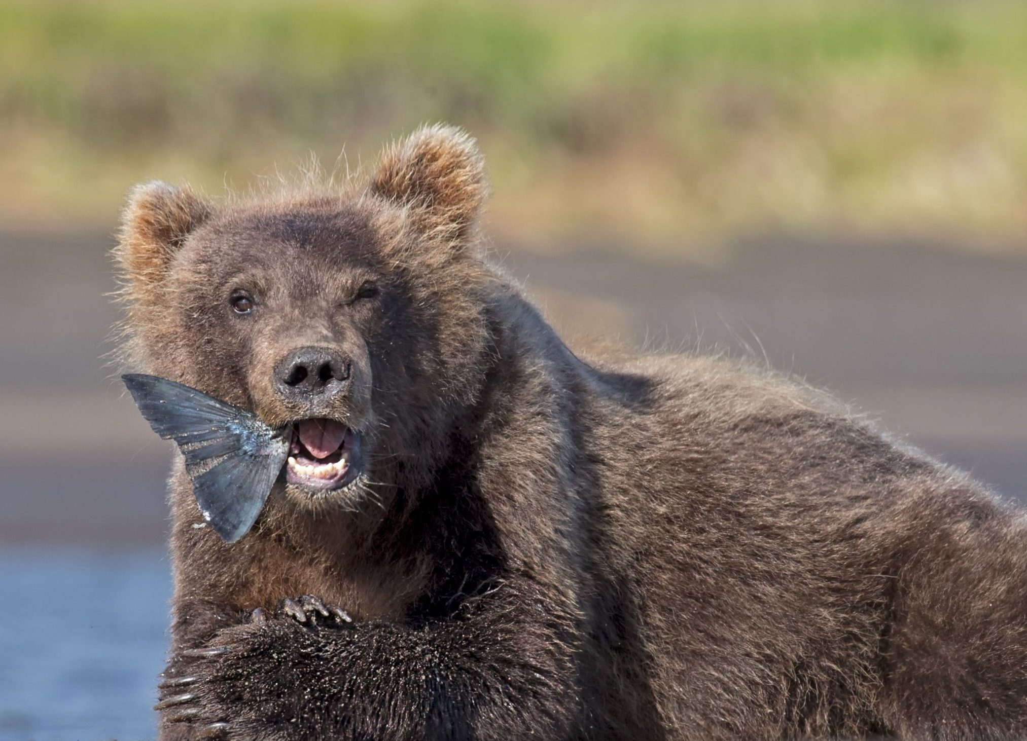 Brown bear cub eating a salmon in Alaska