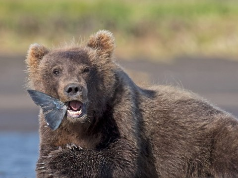 You can name a salmon after your ex then watch it get torn apart by bears on Valentine's Day