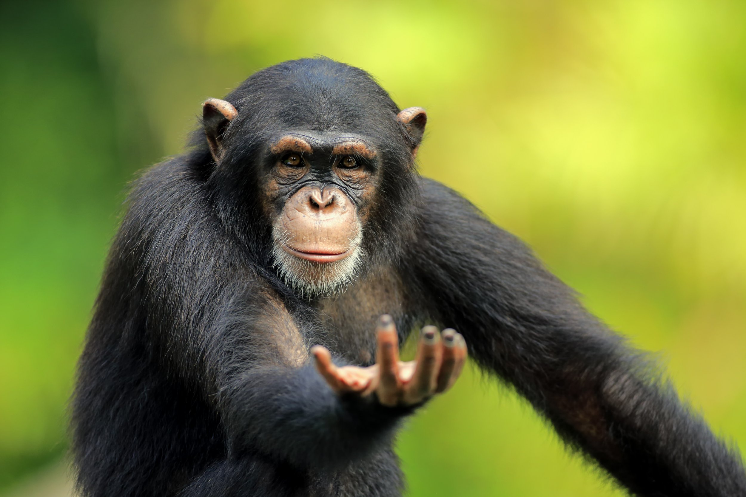 Chimps communicate using the same language rules as humans