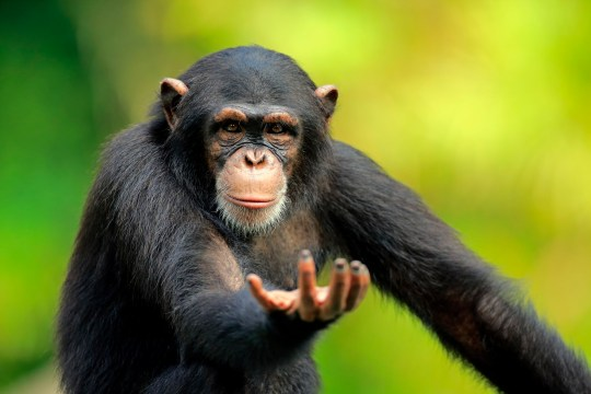 Chimpanzee, (Pan troglodytes troglodytes), subadult begging portrait, Africa
