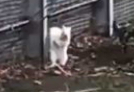 FOOTAGE shows a rare white squirrel clambering about just a mile from the centre of Scotland's capital. Carl Hurst filmed the albino grey squirrel scaling a massive fence in the Gorgie area of Edinburgh on Wednesday. The condition, which is caused by genetic condition which reduces melanin, affects around one in a million greys. Carl captioned the post: ?Had no idea they existed but spotted a white squirrel at work in Edinburgh today.