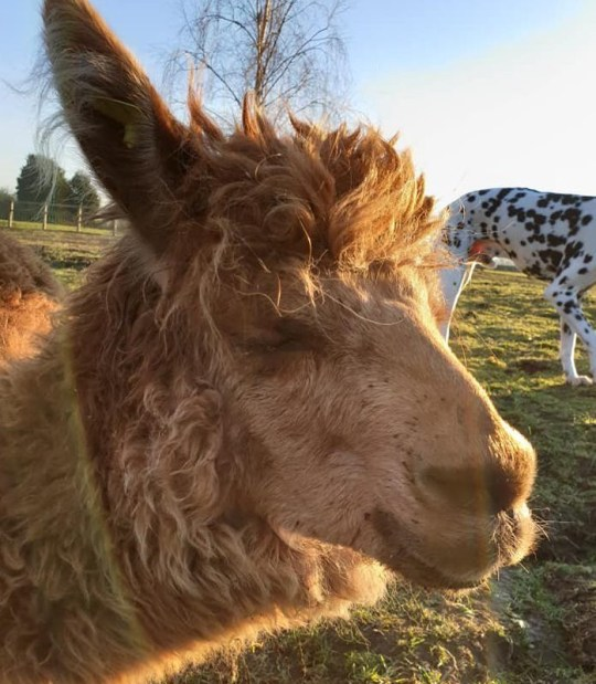 A 'sickening and barbaric attack' on an alpaca named Ed Sheeran who was killed and one of his eyes cut from its socket is being investigated by police. The animal died in Ludgershall, near Bicester, Oxon, despite initial hopes that it might pull through after the incident on Thursday. https://www.facebook.com/photo.php?fbid=10155996035322231&set=pcb.2342699702493935&type=3&theater&ifg=1