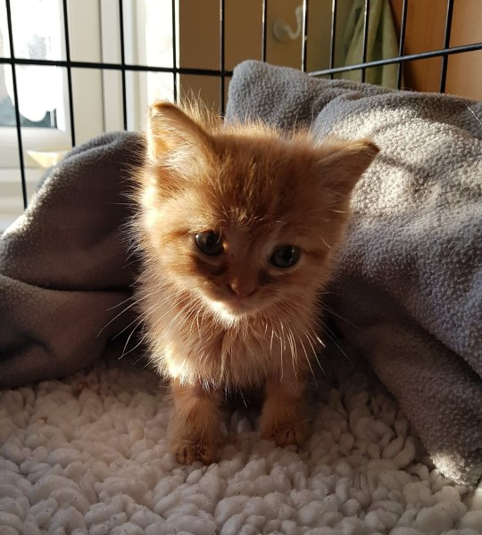INS News Agency Ltd. 18/02/2019 A five-week-old kitten discovered anaemic and covered in fleas was brought back from the brink of death, after receiving a life-saving emergency blood transfusion from another cat. The ginger kitten was discovered by RSPCA officers living in squalid conditions and covered in fleas - a common killer of young, vulnerable kittens - which had become so severe he was anaemic, weak and fighting for life. See copy INSkit