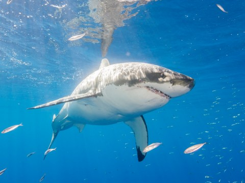 Great white sharks may have DNA mutations that can help us fight cancer