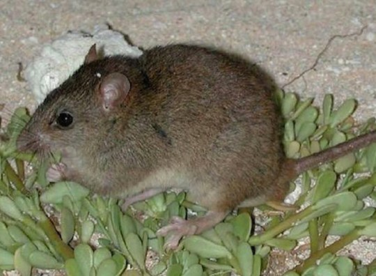 Rodent becomes climate change's first victim as it's officially declared extinct The Bramble Cay melomys, or Bramble Cay mosaic-tailed rat (Melomys rubicola), is an extinct species of rodent in the family Muridae and subfamily Murinae. Credit: QUEENSLAND GOVERNMENT