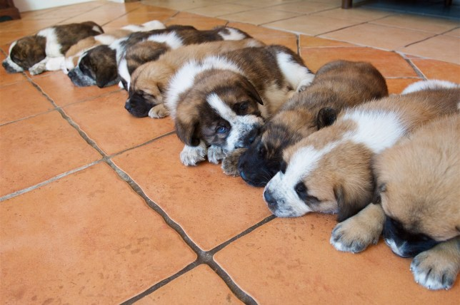 "The nine St Bernard/Spanish Mastiv cross puppies which are five weeks old. See SWNS story SWPLpuppies; Family stunned by arrival of nine St Bernard puppies after their pet finds love with rescue dog. A family were left stunned by the arrival of NINE St Bernard puppies after their pet found love with a rescue dog. Owner Sue Medland, 54, said the huge litter came as a total shock after her after two-year-old St Bernard Amber succumbed to the advances of rescue Spanish mastiff Aston. She said said her household in St Helier, Jersey, had been transformed by what she affectionately described as a ???pack of young hooligans???. The puppies are now five weeks old and Mrs Medland said she was starting to think about rehoming them. She said: ""We are managing for now, as we have a large garden, but we are looking to rehome all of the puppies. ""Since they are so young, we have not yet pushed for homes for them, but I do already have people waiting to come and see them. And I will also want to see if they are suitable owners."