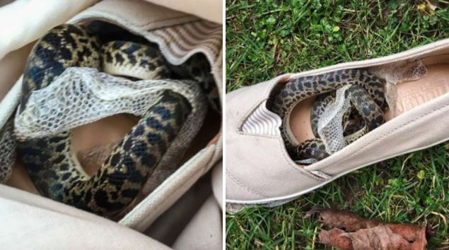 Real snake on a plane travelled 9,000 miles from Australia to Scotland