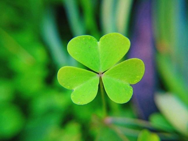 What counts as a true shamrock, and why is it a St. Patrick's symbol? | Metro News