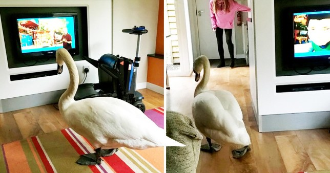 A holiday-maker was astounded to wake up to find a SWAN had waddled inside her living room and was watching TV with her niece.