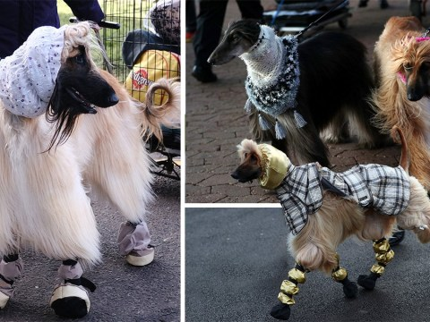 Afghan hounds in head scarves steal the show at Crufts