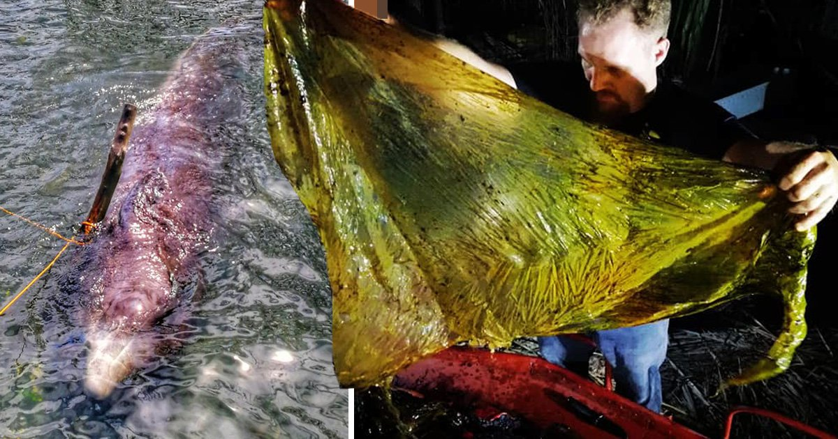 Upsetting video shows huge number of plastic bags being pulled from dead whale's stomach
