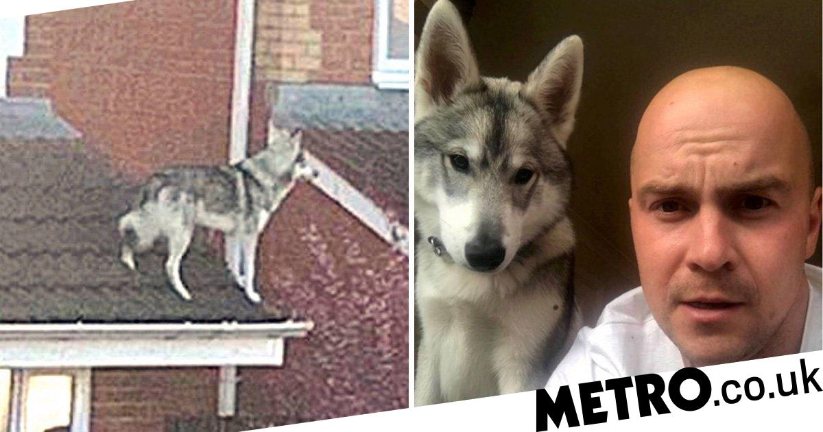 Gary the wolf dog found on roof of his home by neighbour