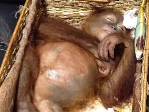 Baby orangutan 'drugged and stuffed in suitcase by tourist who wanted him as a pet'