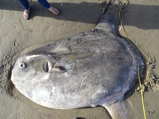 A hoodwinker sunfish is seen on a beach in Santa Barbara, California, U.S., February 21, 2019, in this picture obtained from social media. Thomas Turner via REUTERS ATTENTION EDITORS - THIS IMAGE HAS BEEN SUPPLIED BY A THIRD PARTY. MANDATORY CREDIT. NO RESALES. NO ARCHIVES.