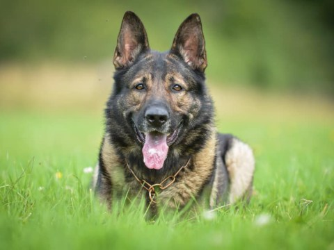 Outpouring of grief from cops after hero police dog dies months after retiring