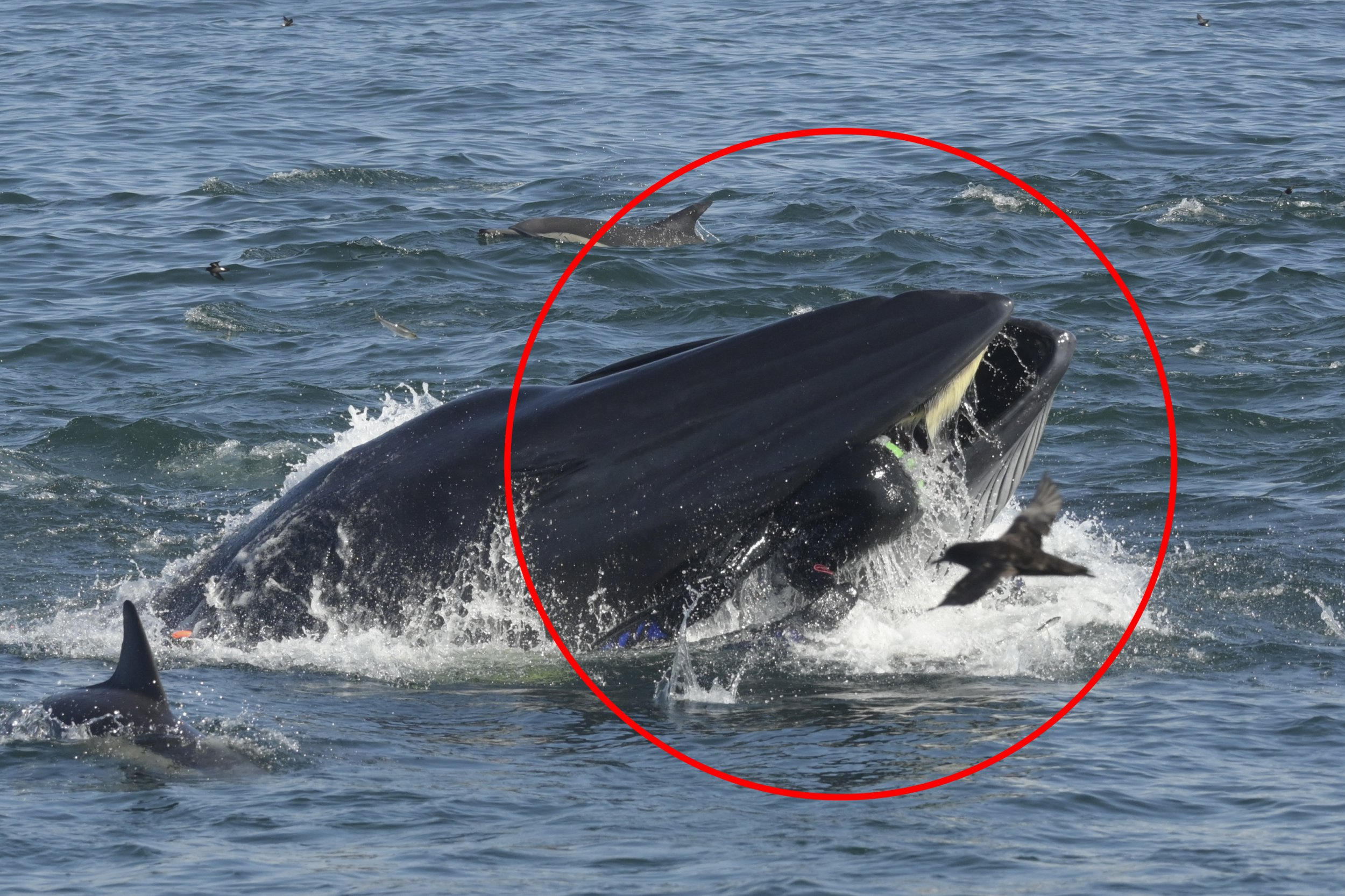 *** EXCLUSIVE - VIDEO AVAILABLE *** PORT ELIZABETH, SOUTH AFRICA - FEBRUARY 16: Zoomed in photo of Rainer Schimpf in the mouth of the Bryde's Whale on February 16th, 2019 in Port Elizabeth, South Africa. A DRAMATIC set of pictures show a man nearly being swallowed by a Bryde?s Whale off Port Elizabeth Harbour. Rainer Schimpf, 51, has worked as a dive tour operator in South Africa for over 15 years. But in February, he experienced something very rare ? the inside of a whale?s mouth. In perfect sea conditions, Rainer and his team set off to document a sardine run ? a natural event where gannets, penguins, seals, dolphins, whales and sharks work together to gather the fish into bait balls. Rainer and his colleagues film the expedition for educational and environmental purposes.Split into two groups, Rainer led his team into the ocean, about 25 nautical miles from shore.But it was when the sea suddenly churned up that the team knew something strange was happening. PHOTOGRAPH BY Heinz Toperczer / Barcroft Images