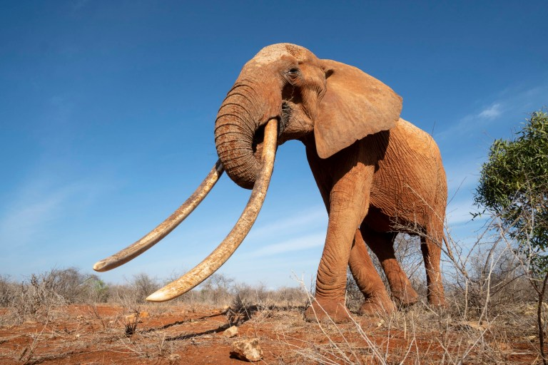 PIC BY Will Burrard-Lucas / CATERS NEWS - (Pictured: The elephant with huge tusks) - These are the final images ever captured of a rare mammoth-like Queen of elephants whose tusks were so long they dragged on the ground. The photos of the majestic mammal, known as F_MU1, were captured by British photographer Will Burrard-Lucas in a national park in Tsavo, Kenya. Full-time snapper Will, A35, from Beaconsfield, Buckinghamshire, took the shots shortly before the 8ft elephant whose tusks were estimated to be up to 6ft 5ins in length died peacefully of natural causes at more than 60 years old. Will spent days searching for the elephant, as the national park area she called her home was the size of Switzerland. His photos show her drinking at waterholes, eating acacia tree branches and striding towards the camera. He was able to capture intimate shots from below using a specially-concealed remote controlled camera buggy known as a Beetlecam, which he developed in 2009 to capture close-up photos of potentially-dangerous African wildlife. SEE CATERS COPY