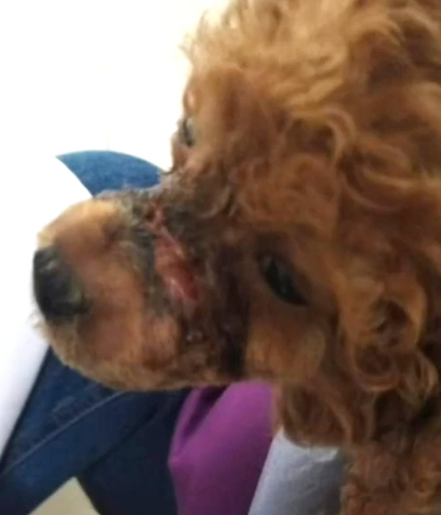 Puppy's mouth forced shut with rubber band to stop it barking