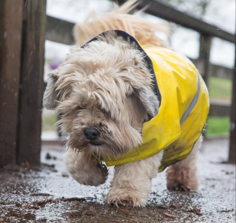Alamy Live News. RY65XX Kidderminster, UK. 12th March, 2019. UK weather: Heavy rain throughout the uk doesn't stop dog walkers taking out their pooches This little guy is well protected in his stormproof yellow coat. Credit Lee Hudson/Alamy Live News This is an Alamy Live News image and may not be part of your current Alamy deal . If you are unsure, please contact our sales team to check.