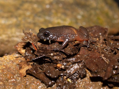 Scientists discover 'living fossil' frog that's remained hidden for millennia