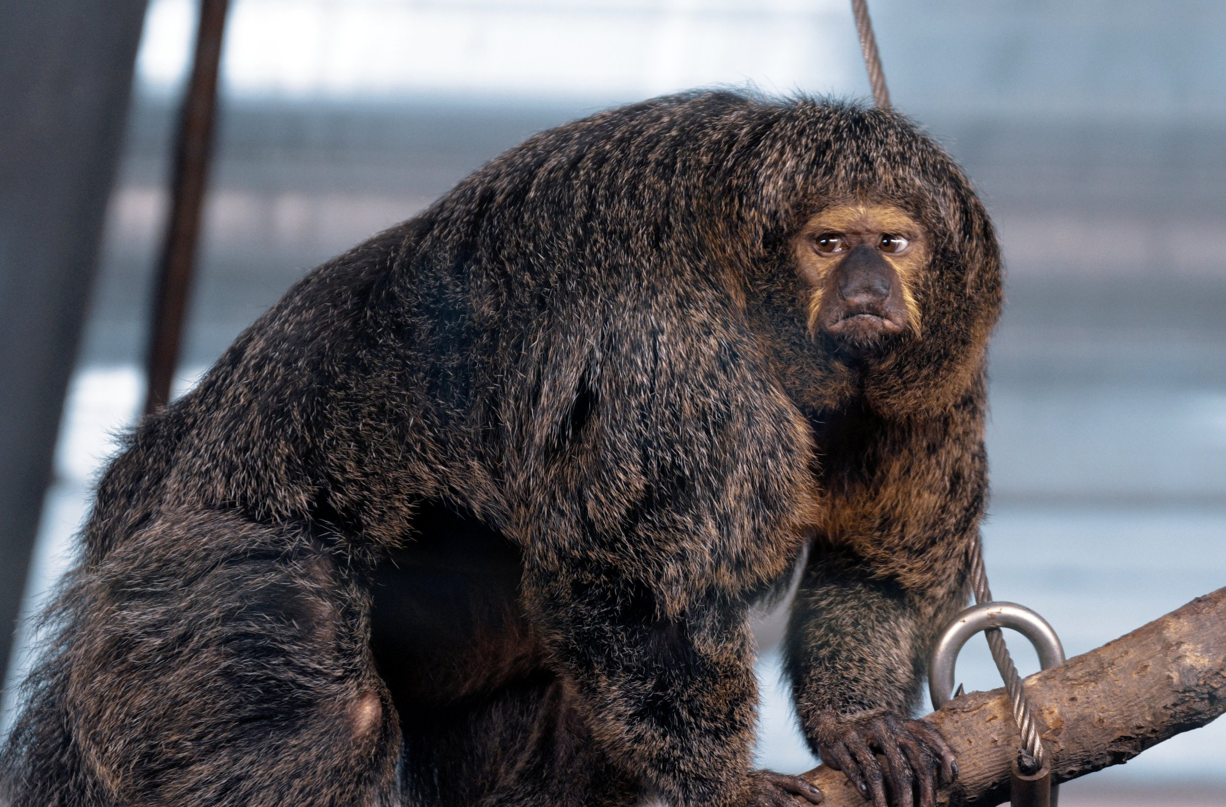 People are swooning over a 'buff' bodybuilding monkey
