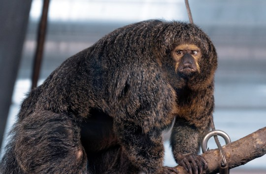 The buff looking White-Faced Saki at Korkeasaari Zoo in Finland. See SWNS copy SWCAmonkey: This pumped-up primate looks like it has been doing some serious pull-ups on the monkey bars. Santeri Oksanen, 34, snapped the muscular monkey as she kept a close eye on her territory. The game developer, from Lauttasaari, Finland, captured the White-Faced Saki's grumpy expressions while visiting Korkeasaari Zoo in his country's capital, Helsinki.