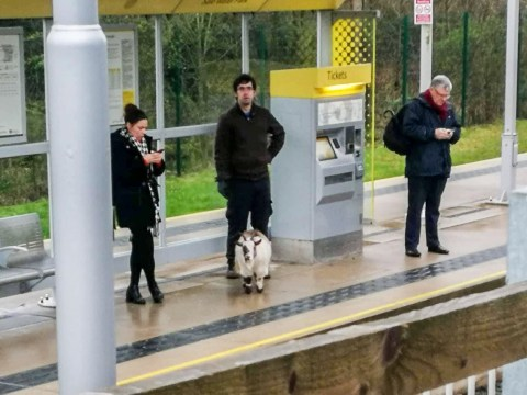 Missing goat found 25 miles away catching tram to Manchester