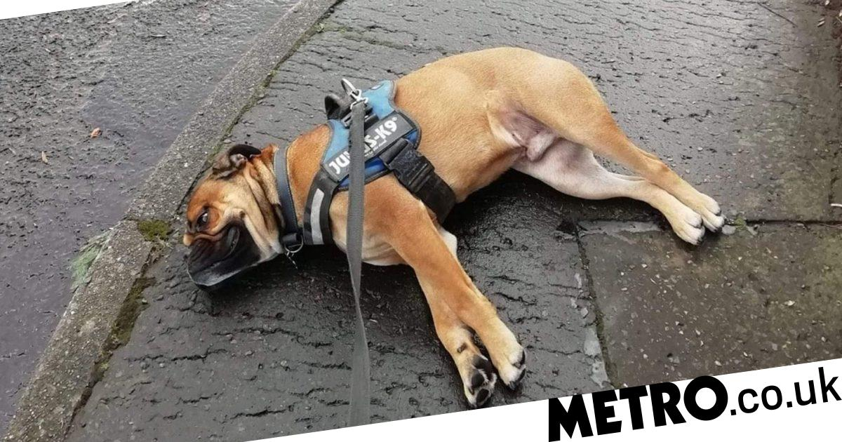 Melodramatic dog fakes own death in walk protest