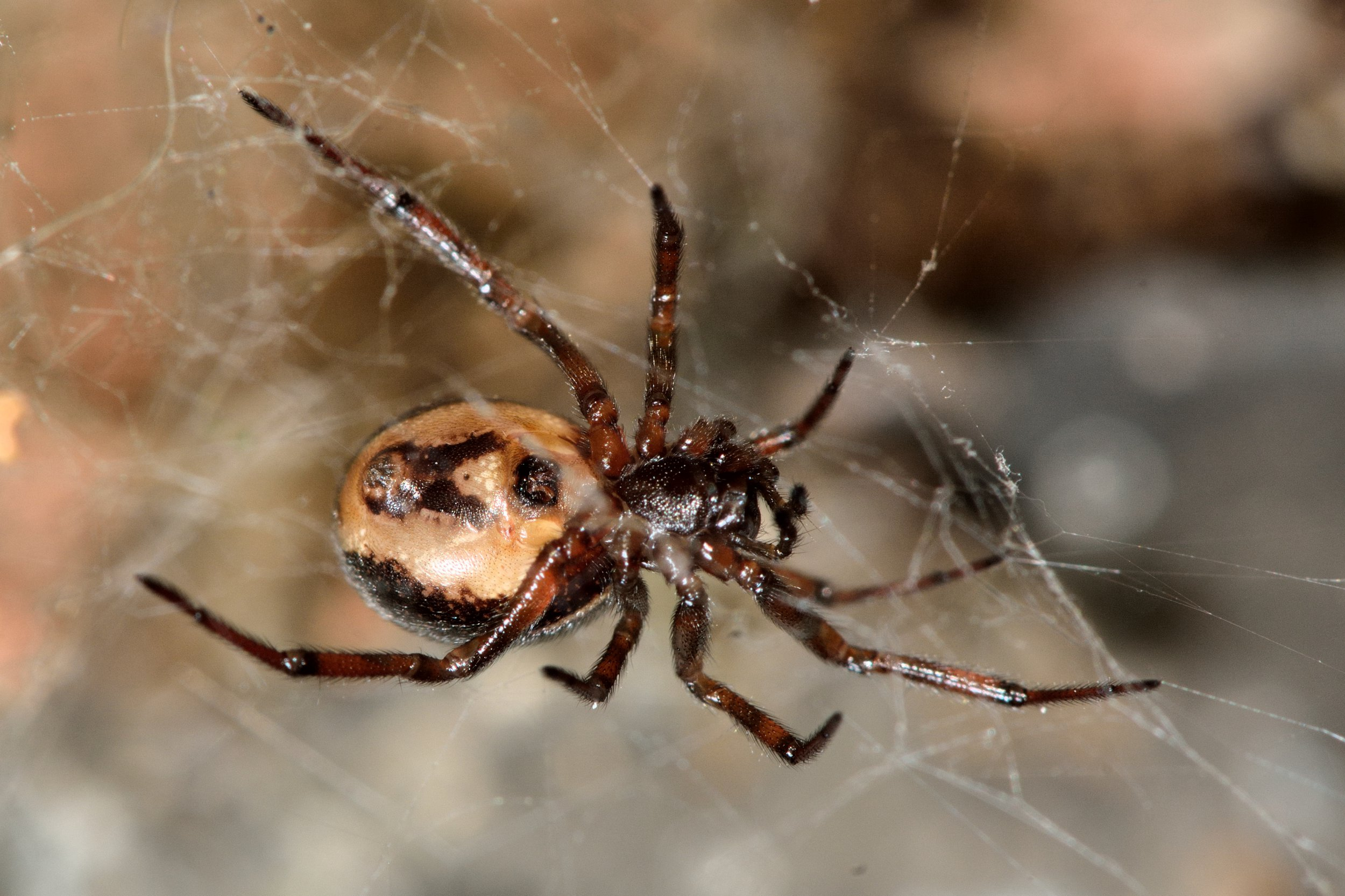 Man found dead after reporting false widow spider bite