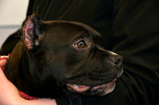 The American Bully dog, named Russia, who had its ears illegally cropped by two female dog breeders, Dawn and Louise Hillbeck, who have been given a one year conduct requirement order, 80 hours community payback and a five year ban on dealing and trading dogs .See SWNS story SWSCcropped.Two dog breeders have been banned after illegally 'cropping' dog's ears of a bulldog breed - which can sell for ?6,000. The women, aged 23 and 25, have been given a one year conduct requirement order, 80 hours community payback and a five year ban on dealing and trading dogs. The couple allowed the illegal procedure of ear cropping to be carried out on an American Bully dog in their care, an investigation by the Scottish SPCA found.