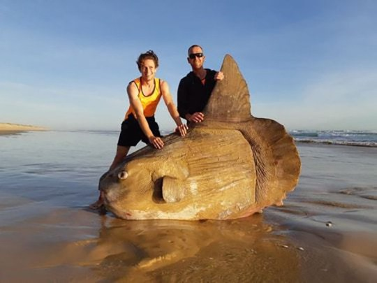 """A gigantic fish that 'can weigh more than a car' washed up on a beach. """"Our Park of the Month at Coorong National Park served up an unusual surprise for two fishers on the weekend ? a sunfish that washed up on to the beach. These huge beauties are the world?s largest bony fish and can weigh more than a car."""""""