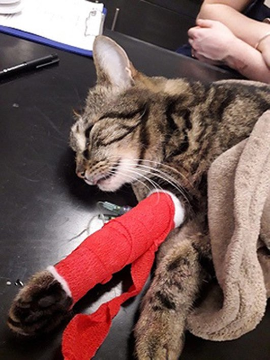 BEST QUALITY AVAILABLE Undated handout photo issued by the RSPCA of Duchy, a cat that suffered horrendous injuries after he was shot with what is believed to have been a modified rifle near its home in Heswall, Merseyside. PRESS ASSOCIATION Photo. Issue date: Thursday March 21, 2019. See PA story ANIMALS Duchy. Photo credit should read: RSPCA/PA Wire NOTE TO EDITORS: This handout photo may only be used in for editorial reporting purposes for the contemporaneous illustration of events, things or the people in the image or facts mentioned in the caption. Reuse of the picture may require further permission from the copyright holder.