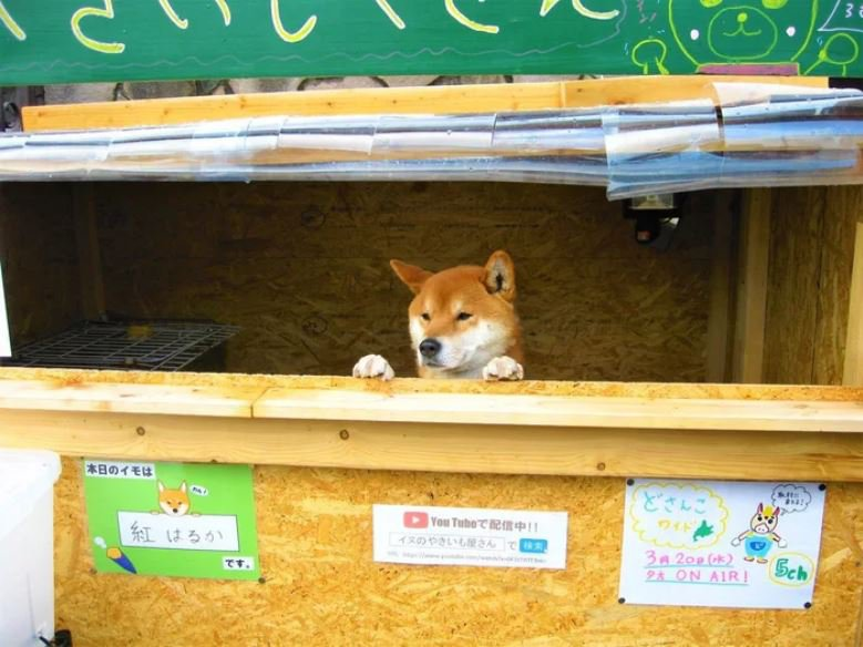 Adorable Shiba Inu dog runs his own roasted sweet potato stall in Japan