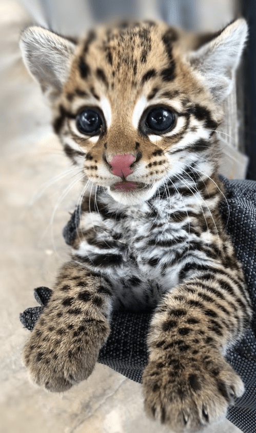 Gorgeous endangered ocelot kittens are so cute they look like cartoon animals