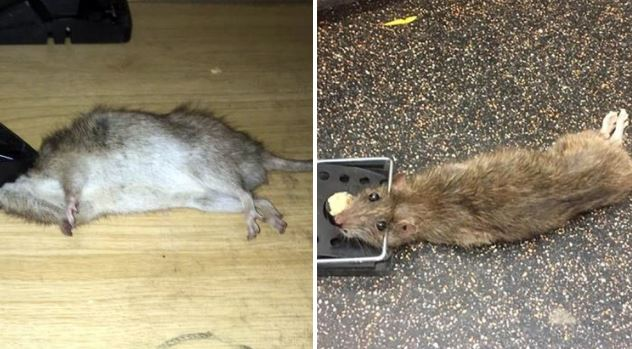 Family 'left homeless' after fleeing home when '2ft long' rats invaded