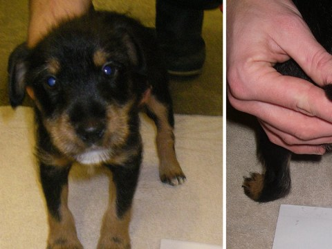 Puppies left with tails hanging off after former butcher illegally docked them