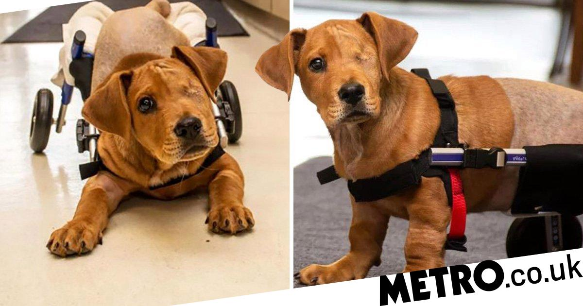 Dog that lost its hind legs and eye in a train accident is adopted