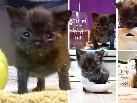 Kitten the size of a tennis ball is determined to grow the same size as his siblings
