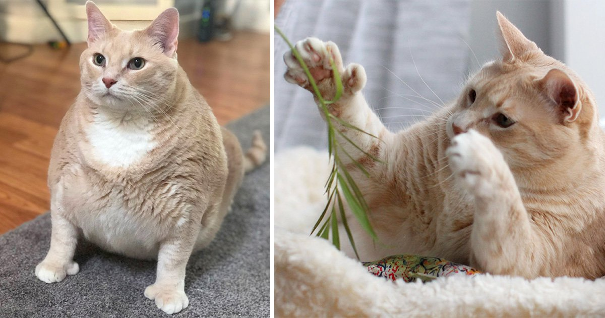 Bronson the chubby cat can't sneak any food because of his abnormally huge paws