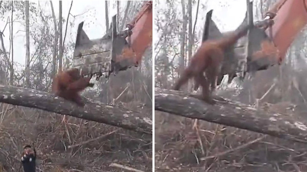 Heartbreaking moment orangutan takes on digger in David Attenborough's new documentary