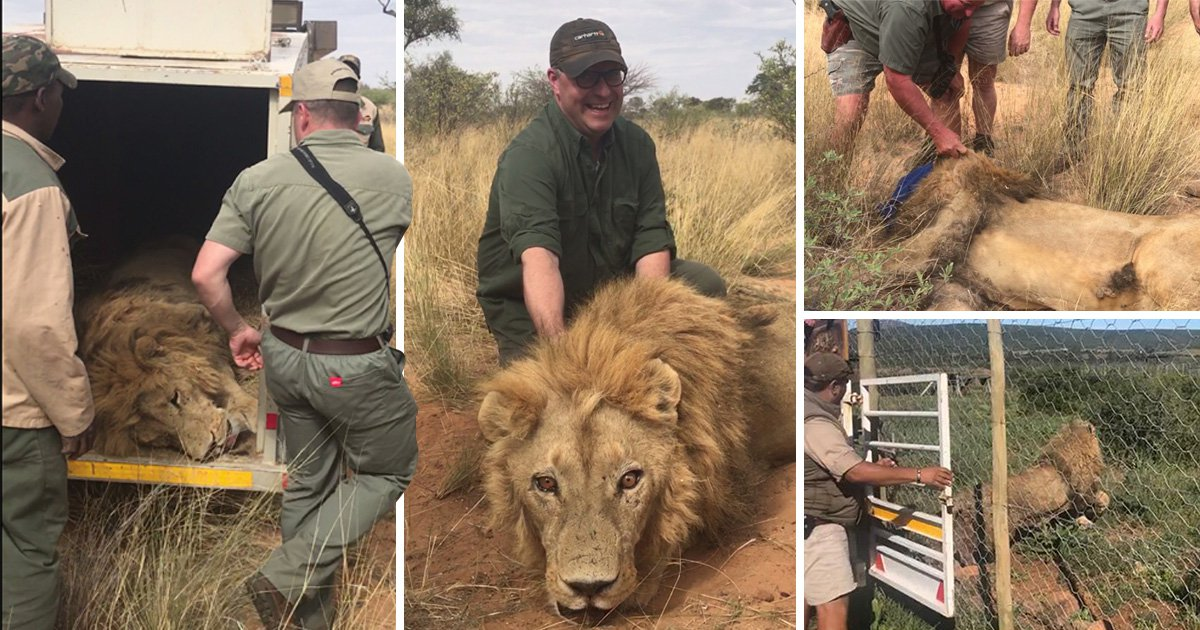 Lions are being farmed in South Africa at an industrial scale