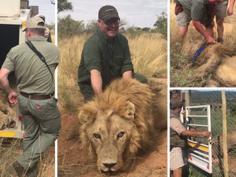 Thousands of lions bred in farms to be shot by hunters and killed for 'medicine'