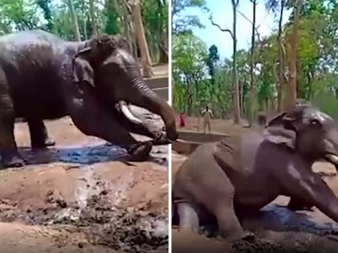 Chained-up elephant collapses and dies after vets refused to treat him