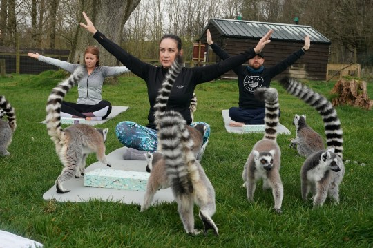 Armathwaite Hall hotel in Keswick, Cumbria holds Lemoga classes with the lemurs from Lake District Wild Life Park mingling with the class to create a personal yoga experience which aims to heighten the sense of wellbeing for both lemur and human. PRESS ASSOCIATION Photo. Picture date: Tuesday April 2, 2019. With their friendly, outgoing personalities and love for human contact, lemurs make the perfect yoga buddies, helping people to laugh, unwind and stretch away their troubles. See PA story SOCIAL Lemoga. Photo credit should read: Owen Humphreys/PA Wire