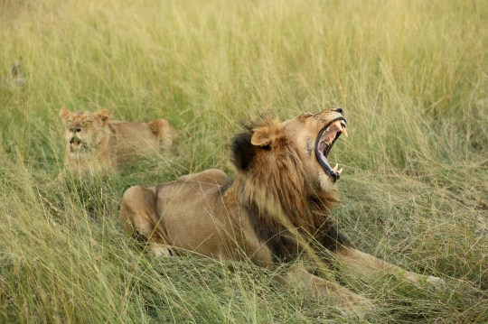 Suspected rhino poacher killed by elephant then devoured by lions